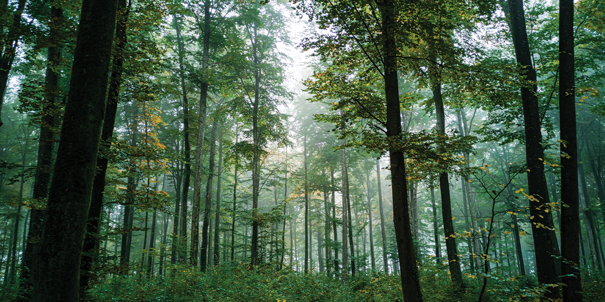 View of tall pine trees representing eco-friendly
